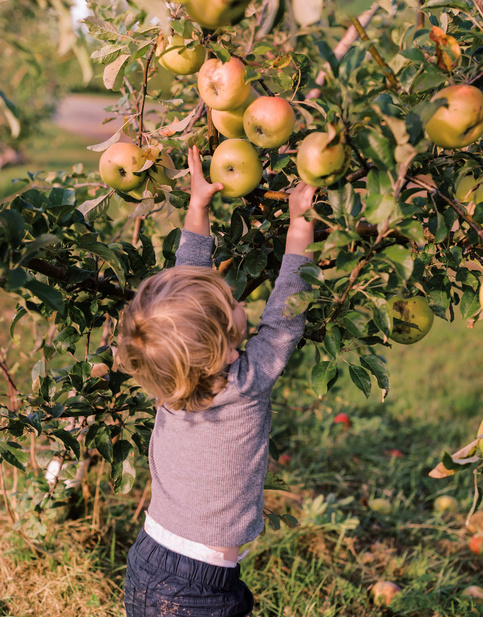 a kid picking apple from tree