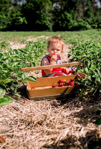 baby sitting in the middle of the fields and eating strawberry